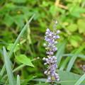 写真: ヤブランの花