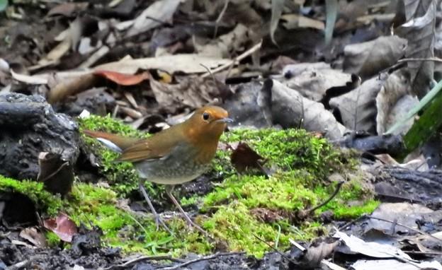 小鳥の森のコマドリ♀