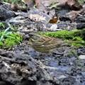 小鳥の森のアオジ