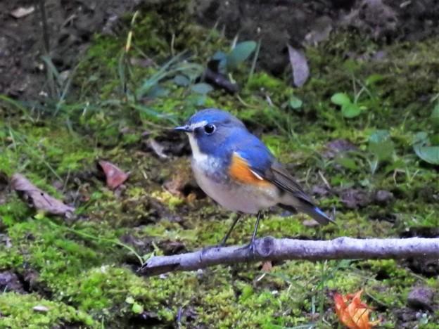 小鳥の森にルリ君-1