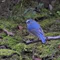 小鳥の森にルリ君-2