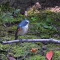 小鳥の森のルリオス-1