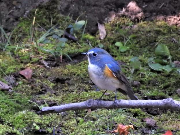 小鳥の森のルリオス