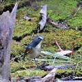 小鳥の森のルリオス-3