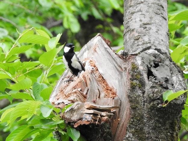 シジュウガラの巣穴