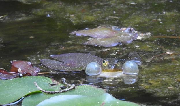オマケの蛙