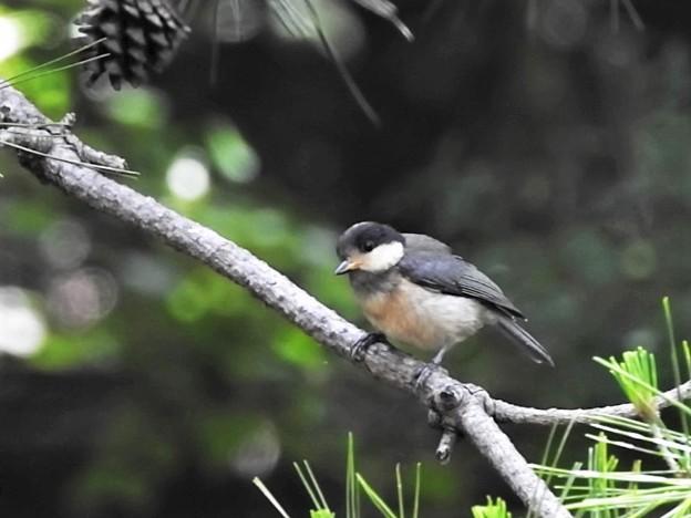お山のヤマガラ幼鳥