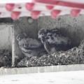 高架下のチョウゲンボウの雛