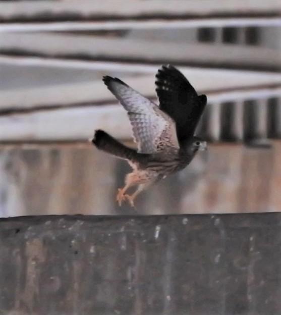 飛翔練習-幼鳥