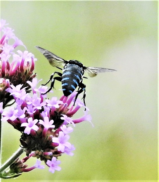 幸せを呼ぶ青い蜂-1