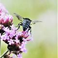 Photos: 幸せを呼ぶ青い蜂-1
