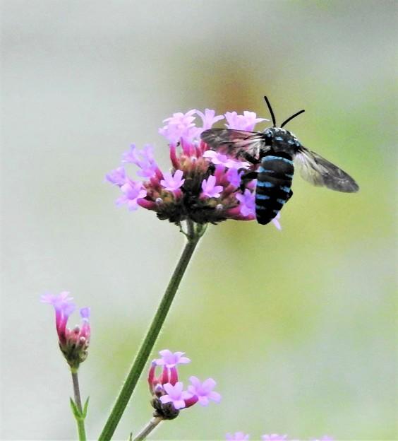 Photos: 幸せを呼ぶ青い蜂-3