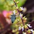 Photos: 幸せを呼ぶ青い蜂-4