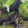 写真: 樹齢二千年