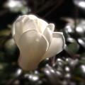 春の貴婦人