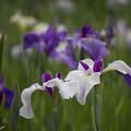 写真: 五月の菖蒲