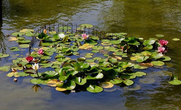 睡蓮の小さな池・・?