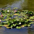 Photos: 睡蓮の小さな池・・?