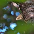 写真: サトキマダラヒカゲ