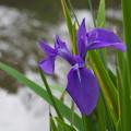 四季咲きカキツバタ