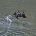 川鵜の飛立ち-02