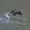 写真: 川鵜の飛立ち-02