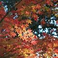 写真: 紅葉 極一部のモミジ