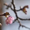 河津桜-01