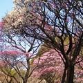早春の彩り:観梅05