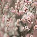 写真: 垂れ梅