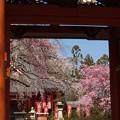 写真: 山門の桜