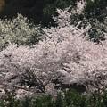 写真: 山里の桜
