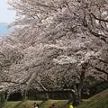 写真: 家族の春:藤原宮跡桜03