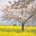写真: 菜の花と桜:藤原宮跡桜01