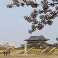 写真: 平城宮跡桜10