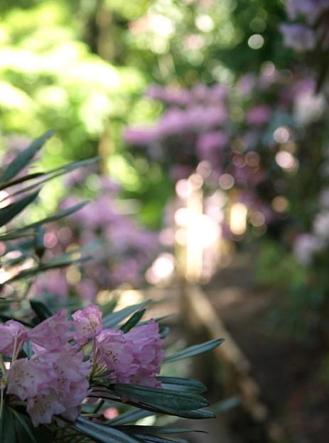 写真: 花の小路:石楠花11
