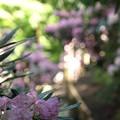 Photos: 花の小路:石楠花11
