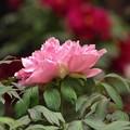 写真: 花の寺:牡丹03
