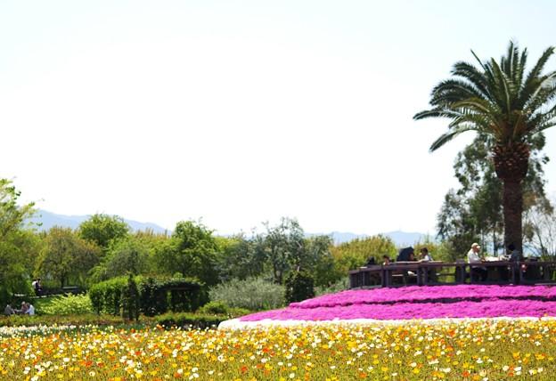 春風景:芝桜02