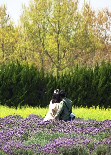 人生の春:ラベンダー01