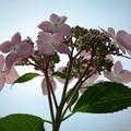 写真: 紫陽花09