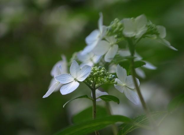 写真: 紫陽花22