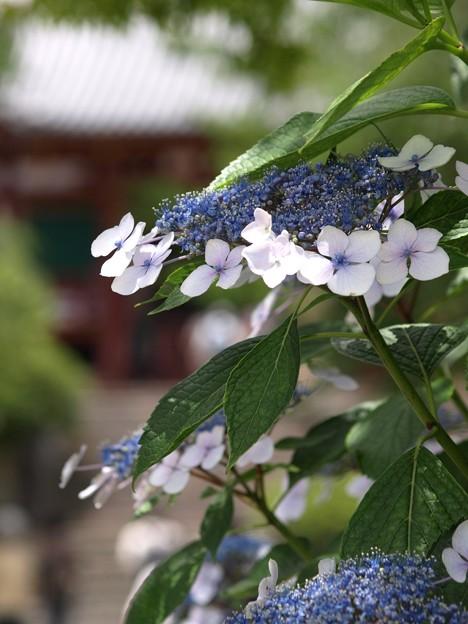 写真: 矢田寺紫陽花37