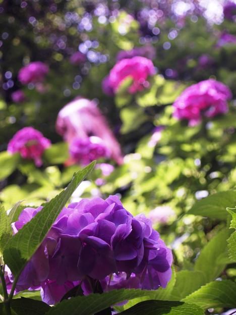 矢田寺紫陽花19