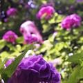 写真: 梅雨の晴れ間:矢田寺紫陽花19