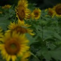 写真: ヒマワリ09:夏場