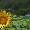 写真: ヒマワリ01:夏旅