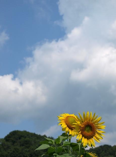 写真: ヒマワリ05:夏空に咲く