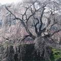 Photos: 山里を見守る:又兵衛桜03