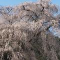 Photos: 樹齢300年:又兵衛桜01